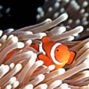 False Clown Anemonefish Print by Copyright Melissa Fiene