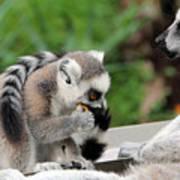 Family Of Lemurs Art Print