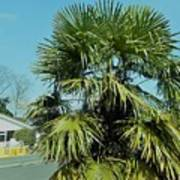 Fan Palm Tree Art Print