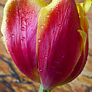 Fancy Tulip Art Print