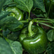 Farming Green Peppers Art Print