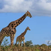 Father And Son Giraffe Art Print