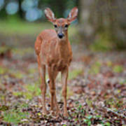 Fawn In Woods At Shiloh National Military Park Art Print