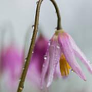 Fawn Lilies In The Rain Art Print