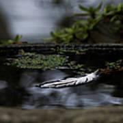 Floating On A Still Pond Art Print