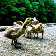 Feed Me Seymore - Baby Geese Art Print