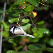 Feeding Black-capped Chickadee Art Print