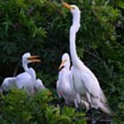 Feeding Time In The Great White Egret Rookery Art Print