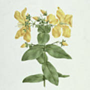 Feel-fetch - Hypericum Quartinianum Art Print