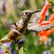 Female Broadtail Humingbird Art Print