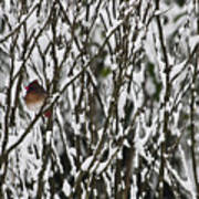 Female Cardinal In The Snow Art Print