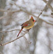 Female Cardinal In Winter Art Print