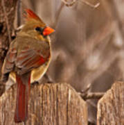 Female Cardinal On The Fence Art Print