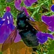 Female Carpenter Bee On Penstemons Art Print