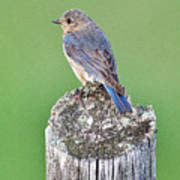 Female Eastern Bluebird 4479 Art Print