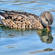 Female Gadwall Duck  Art Print