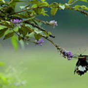 Female Great Mormon Butterfly On A Branch Art Print