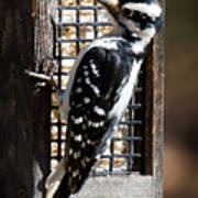 Female Hairy Woodpecker Art Print