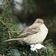 Female House Finch On Snow Art Print