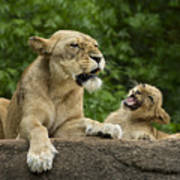 Momma Lion Over Cubs Attitude Art Print