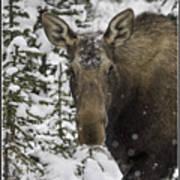 Female Moose In A Winter Wonderland Art Print