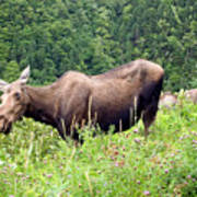 Female Moose Art Print