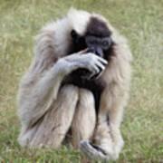 Female Pileated Gibbon, Gladys Porter Zoo Art Print