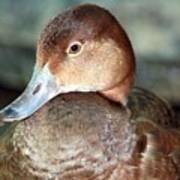 Female Redhead Duck Art Print