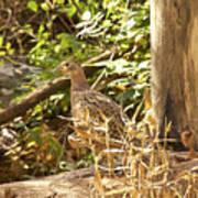 Female Ring-necked Pheasant - Phasianus Colchicus Art Print