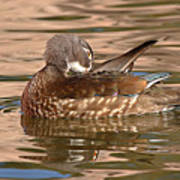 Female Wood Duck Preening On The Water Art Print