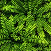 Ferns After The Rain Art Print