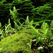 Ferns And Moss On The Ma At Art Print