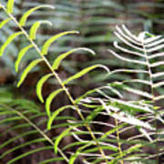 Ferns In Natural Light Art Print