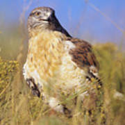 Feruginous Hawk Art Print