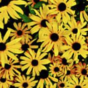 Field Of Black-eyed Susans Art Print