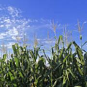 Field Of Corn Against A Clear Blue Sky Art Print