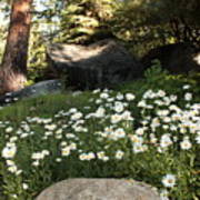 Field Of Daisies In Tahoe Art Print