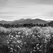 Field Of Flowers In Black And White Art Print