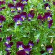 Field Of Pansy's Art Print