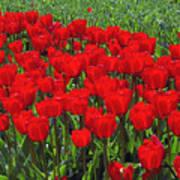 Field Of Red Tulips Art Print