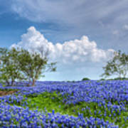 Field Of Texas Bluebonnets Art Print