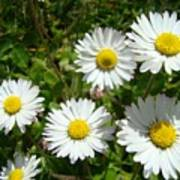 Field Of White Daisy Flowers Art Prints Summer Art Print
