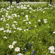 Field Of White Poppies Art Print