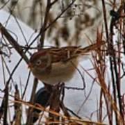 Field Sparrow Art Print
