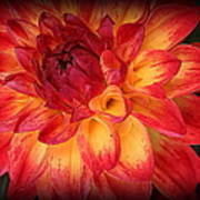 Fiery Red And Yellow Dahlia Art Print