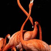 Fighting Flamingos Art Print
