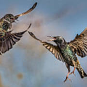 Fighting  Starlings Art Print
