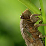 Final Instar Of A Cicada Emerging From The Ground To Molt On A L Art Print