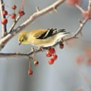 Finch Eyeing Seeds Art Print