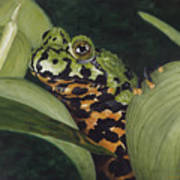 Fire Belly Toad Art Print